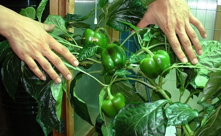 پرورش سبزیجات در آپارتمان