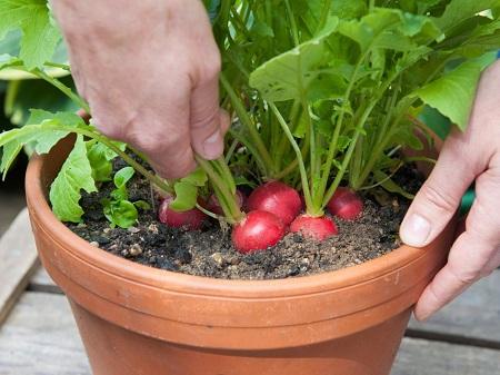 کاشت سبزی در گلدان