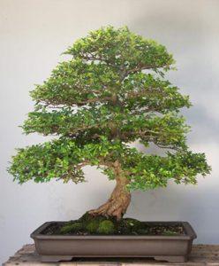 پرورش یک درخت بن سای