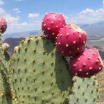 خواص درمانی میوه کاکتوس