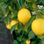 لیمو شیرین و خواص درمانی آن