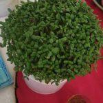 کاشت سبزه عید با کنجد سیاه