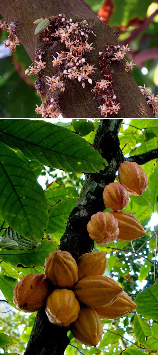 درخت کاکائو , کاکائو