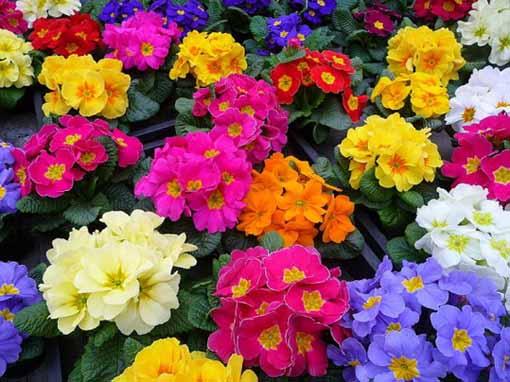 گل پامچال , روش کاشت گل پامچال