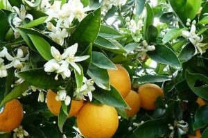 بهار نارنج معجزه درمان مشکلات گوارشی