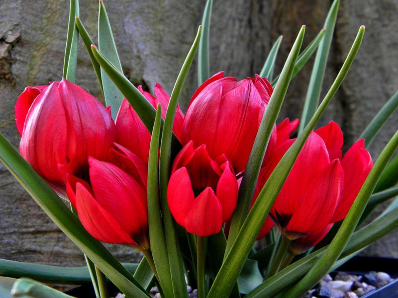 گل لاله , روش کاشت گل لاله