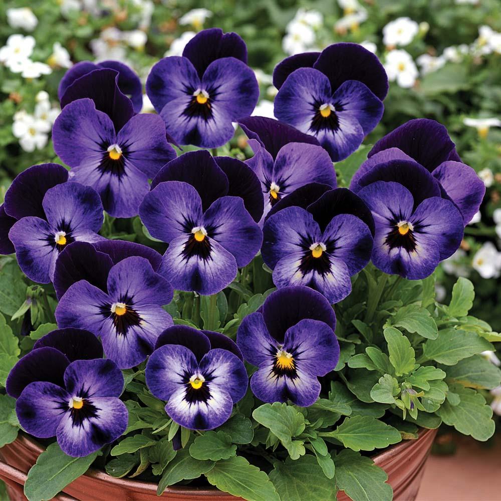 گل بنفشه , روش کاشت گل بنفشه