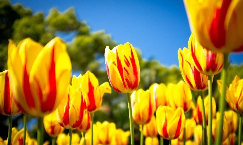 تصویر گل با کیفیت HD برای تصویر پس زمینه