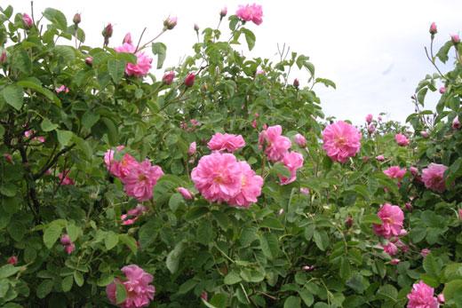 گل محمدی , روش کاشت گل محمدی