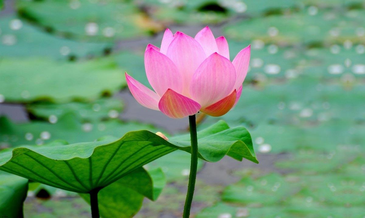 عکس گل با کیفیت برای تصویر پس زمینه و پروفایل