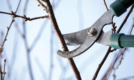 آموزش کامل و تصویری هرس درختان در پایان زمستان