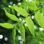 خواص دارویی فراوان و کاربردهای متنوع برگهای چریش