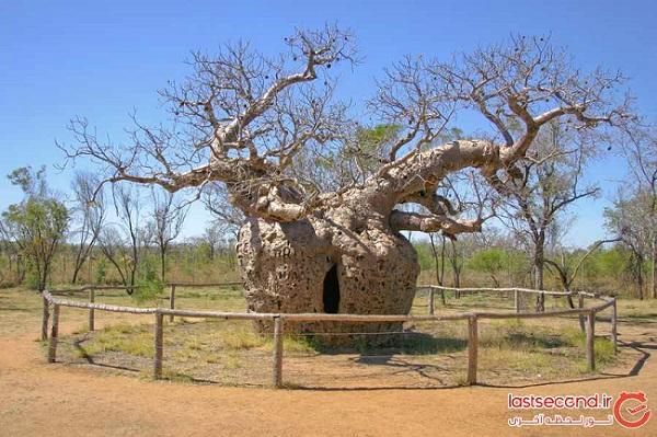 درخت زندان،جاذبه ۱۵۰۰ ساله استرالیا + تصاویر