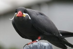 پرستوی اینکا ؛ پرنده ای جالب با سبیل های باشکوه