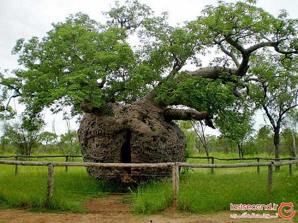 درخت زندان،جاذبه 1500 ساله استرالیا + عکس