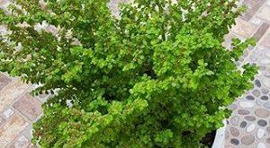 گل پیله آ میکروفیلا گیاهی همیشه سبز و مناسب آپارتمان ها