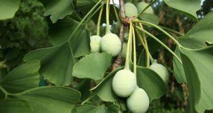 با گیاه جینکو و خواص درمانی آن آشنا شوید