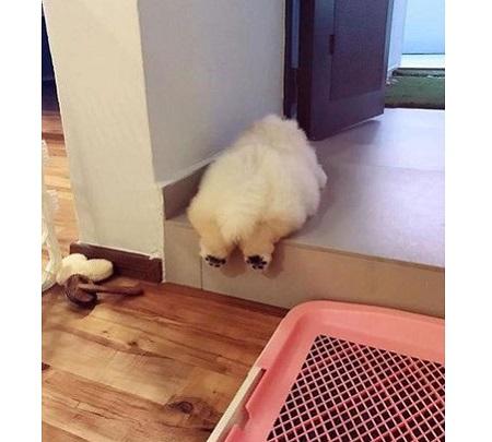 توله سگ چینی