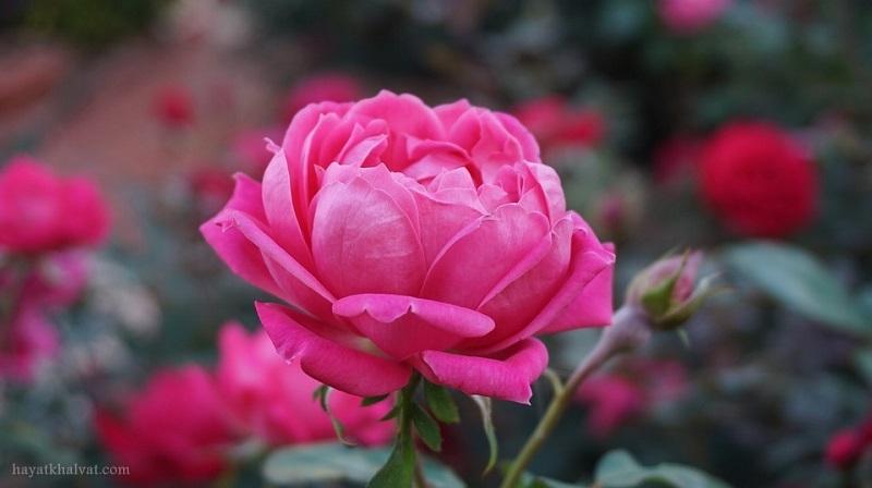 عکس گل رز برای پروفایل , عکس گل رز برای پس زمینه , عکس گل رز با کیفیت بالا