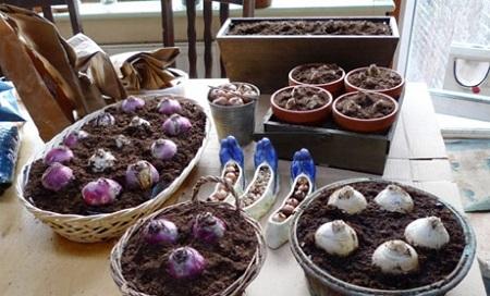 کاشت سنبل هلندی برای عید